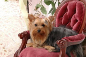 Yorkies Bred By Dream Maker Yorkies in Louisiana