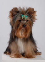 Healthy Yorkie Puppy Bred By Dream Maker Yorkies